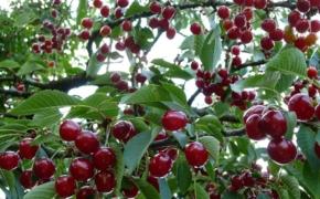 Выбираем самые сладкие сорта вишни для выращивания в саду
