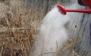 Как избавиться от вредителей смородины при помощи кипятка