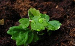 Как сажать семена клубники?