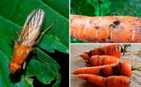 Морковная муха – как с ней бороться