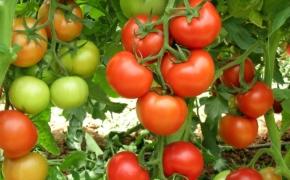 Идем на рекордный урожай томатов