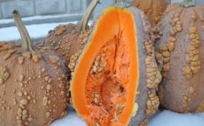 Мускатные тыквы: на лицо ужасные, сладкие внутри