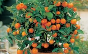 Как вырастить цитрусовые