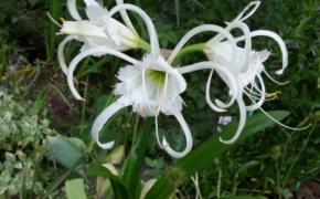Гименокаллис: посадка в саду и уход