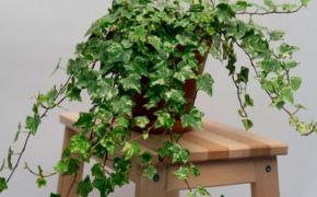 Плющ как комнатное растение: разбираемся в тонкостях выращивания