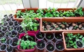 Сеем однолетние цветы на рассаду