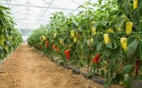 Перцы на высоком штамбе: опыт выращивания