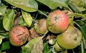 Какой яблоне парша не страшна