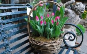 Чтобы тюльпаны зацвели в марте