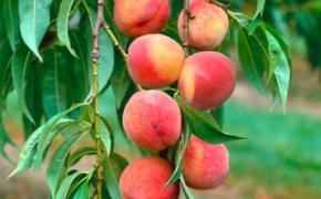 Технология выращивания персиков из семян на подвое горький миндаль и дикий персик