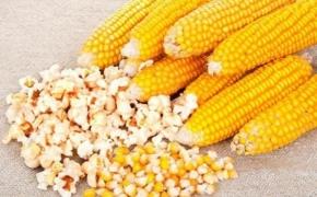 Сорт Оскар - лопающаяся кукуруза