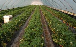 Выращивание земляники в тепличных условиях