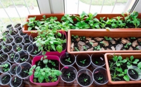 Выращивание рассады многолетних и однолетних декоративных растений