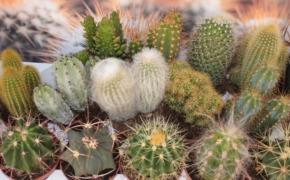 Культивирование кактусов: интересные факты