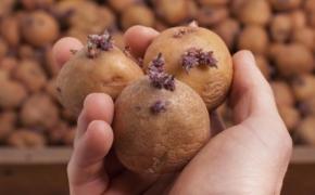 5 способов, как прорастить картофель