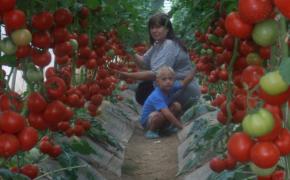 Секреты хорошего урожая томатов: сорта достойные внимания