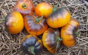 Томаты фавориты: собираем свою коллекцию помидоров