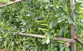 Фасоль: опыт выращивания
