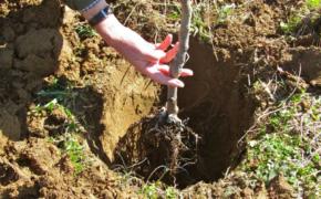 5 правил посадки плодовых деревьев