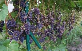 Итоги виноградного сезона 2020 года