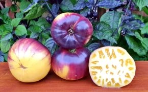 Сорт томатов Sart Roloise: опыт выращивания