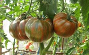 Лучшие низкорослые раннеспелые сорта томатов