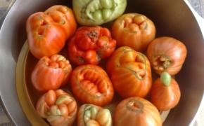 Израстание у томатов: причины и предотвращение