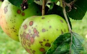 Болезни яблони и груши и меры зашиты от них