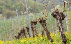 Первая обработка винограда