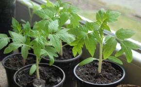 5 секретов идеальной рассады томатов