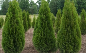 Выращивание туи: выбор сорта и условия выращивания