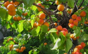Многократные пересадки абрикоса - пустая затея