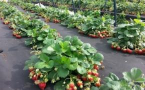 Сажаем клубнику: секреты богатого урожая