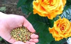 Как правильно подкармливать розы