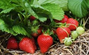 Земляника: правильная агротехника органического земледелия