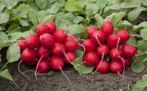 Ряд условий необходимых редису для хорошего урожая