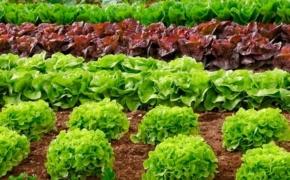 Выращивание салата: выбор сорта и уход